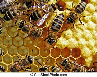 Life of bees. Reproduction of bees. - Set aside in...
