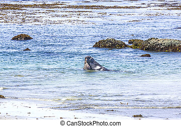 Sealions fighting in the ocean - Sealions fighting in the...