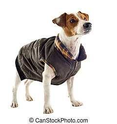 jack russel terrier with coat - portrait of a purebred jack...