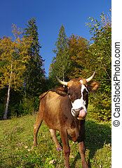 funny cow - cow in autumn landscape