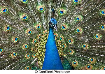Plummage immagini e archivi fotografici219 plummage - Immagini pavone a colori ...