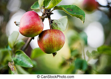 Apple tree - Close up of apple tree with red apples