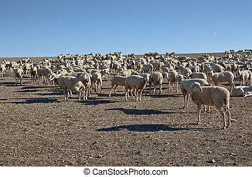 Flock of sheep in an agricultural landscape in Ciudad Real...