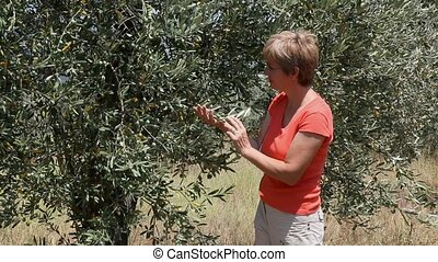 Agronomy - Agricultural expert inspecting quality of olives