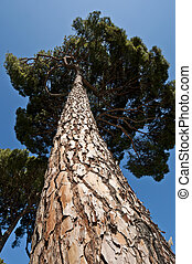 Stone Pine - Trunk and branches of Stone Pine Pinus pinea It...