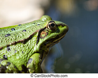 green frog on the morning sun