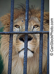 Lion behind bars in a zoo