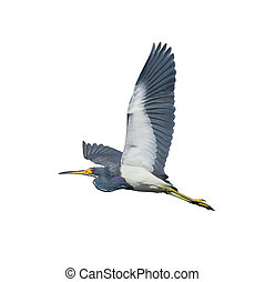 florida birds - Tri-colored heron in flight, isolated Latin...