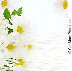 White flowers, field camomiles with green leaves on a white...