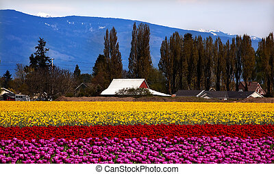Purple Red Yellow Tulips Flowers Skagit Valley Washington...