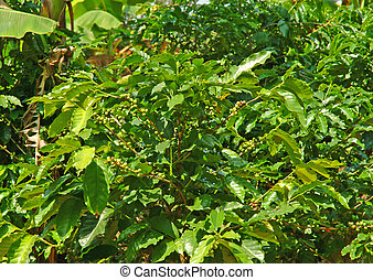 Coffee Plant - Coffee plant in Costa Rica bearing unripe...