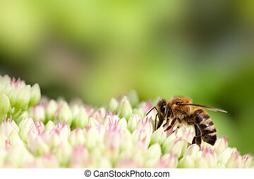 bee on pink and white flower - bee on pink and white garden...