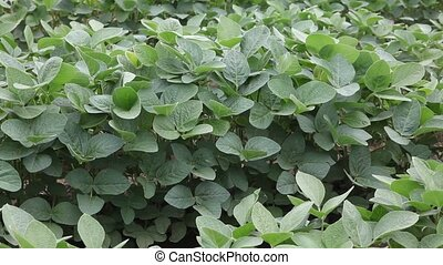 Agriculture - Close up of soy bean plant in a field