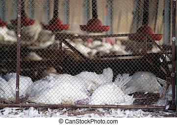 Birds Flu Outbreak - WESTERN NEGEV - MARCH 17: A flock of...