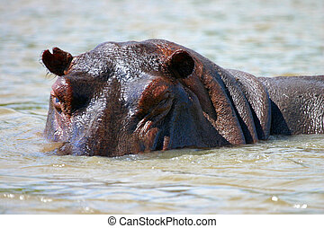 Hippo close up - A close up of a hippo on the Rufiji River...
