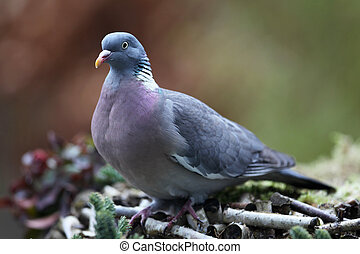 wood pigeon - wood pigeon(Columba palumbus)