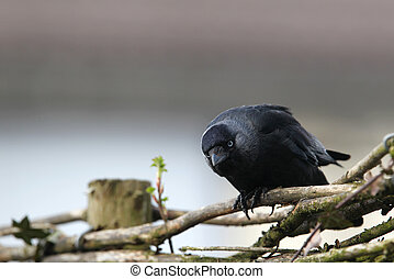 jackdaw corvus monedula sitting on a fence