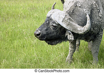Cape Buffalo - Close up of a Cape Buffalo in Tanzania