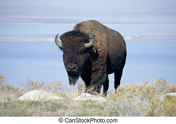 Buffalo in Antelope Island State Park - Buffalo with the...