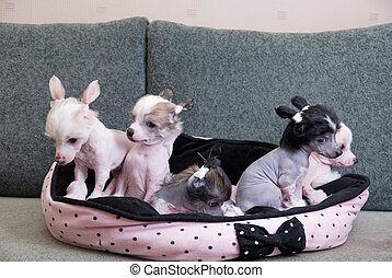 chinese crested puppy dogs