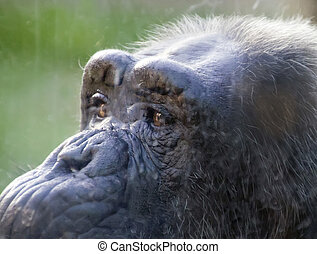 close portrait of an adult chimpanzee
