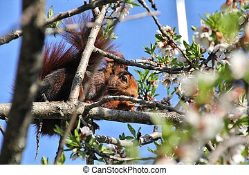 eating squirrel in the branches of an almond