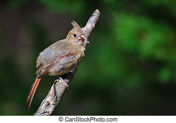 Immature Northern Cardinal Perched in a Tree