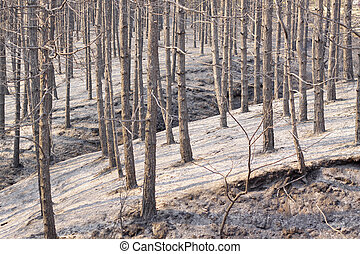 Forest fire - Charred trees and ground after forest fire