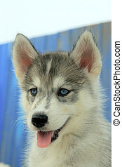 pet dog - a kind of sled dog named huskies