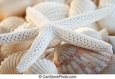 blanco, dedo, Estrellas de mar, Conchas marinas