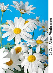 spring marguerite - beautiful white spring marguerite...