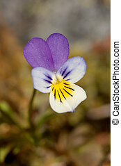 Wild Pansy - A shallow DOF macro image of a small wild...