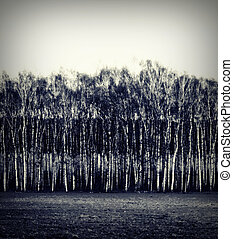 black white field - Monochrome photography. Row of birch...