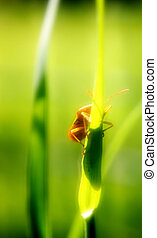 step by step - Beetle climbs on a green blade of grass,...