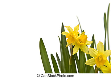 Daffodiles - Buch of fresh yellow daffodils on white