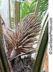 close up inflorescence palm oil