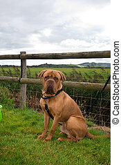 Dogue de Bordeaux tied to a fence in the countryside.