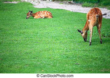 african Animal Sitatunga Tragelaphus spekii wilderness