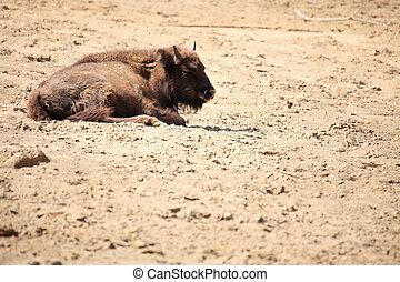 Wisent animal European bison, Poland - Wisent, European...