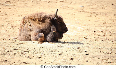 Wisent animal European bison, Poland - Wisent, European...
