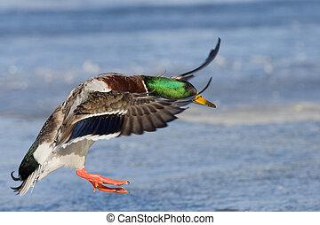 Mallard Drake Landing on Ice