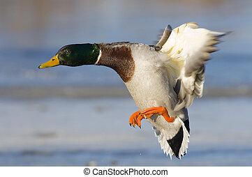 Landing Mallard - Drake Mallard Landing