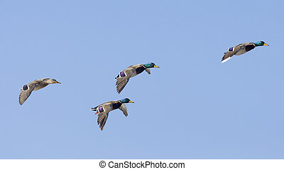 Mallard Flock - Flock of Mallards in flight