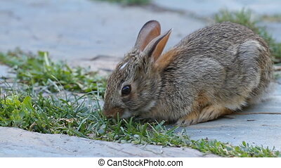 Cute bunny - Young rabbit eating grass in the garden