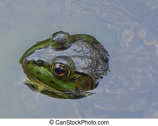 leopard frog in pond - Leopard frog in water
