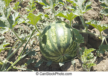 Water-melon field