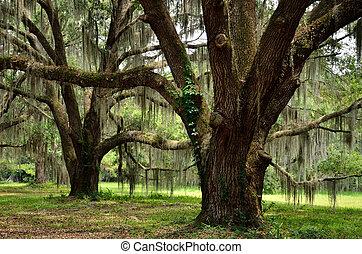 Oaks of yore - Century old oaks line the Hofywl-Broadfield...