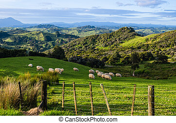 Sheep eating grass on the mountains of the north island of...