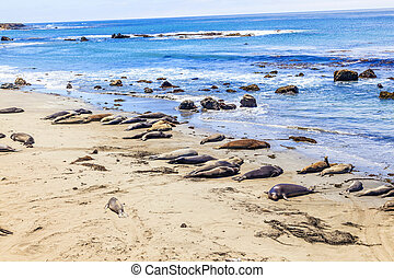 Sealions at the beach - many male sea lions relay and sleep...