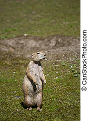 Black-tailed Prairie Dog - Black-tailed prairie dog, a...